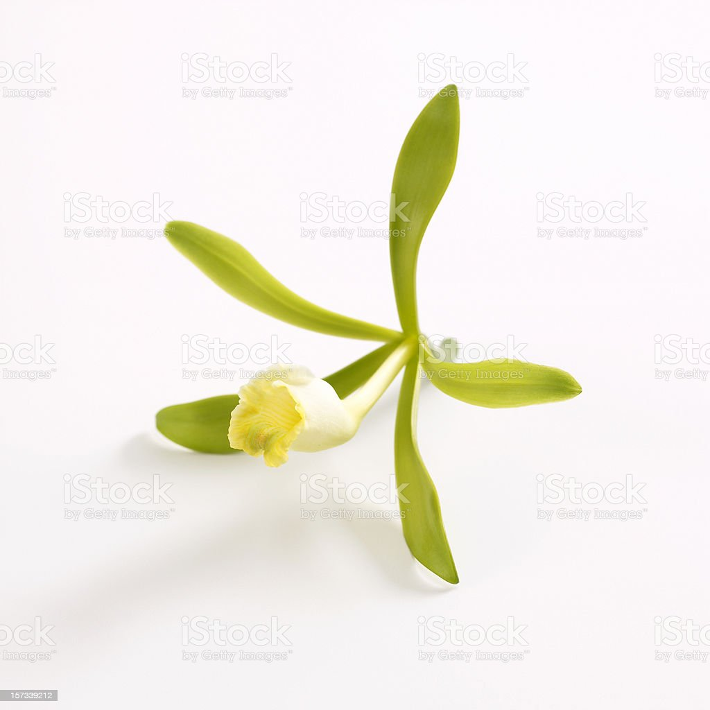 Vanilla orchid flower stock photo