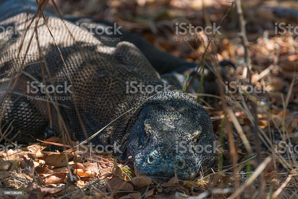 Varan is resting in the Komodo National Park, Indonesia stock photo