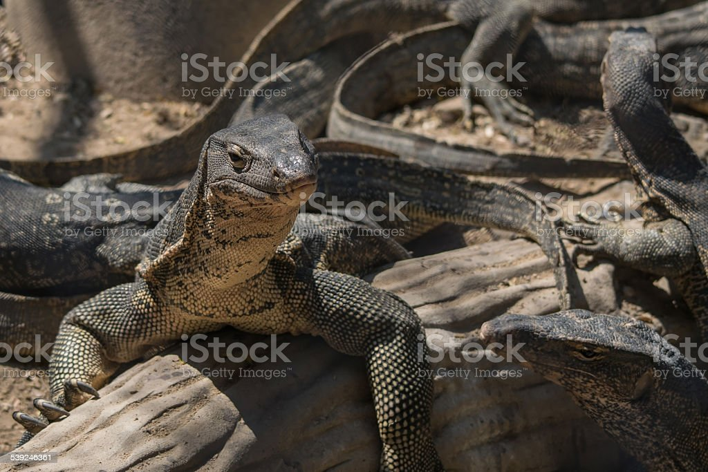 varanus stock photo