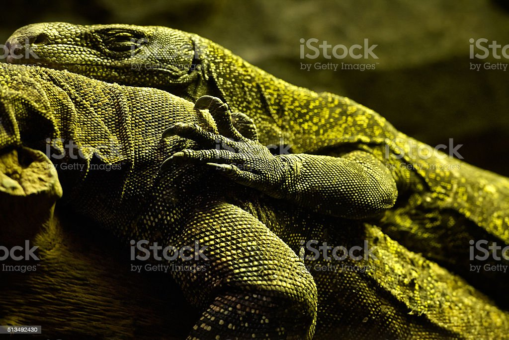 Varanus Salvadorii lying on a branch stock photo