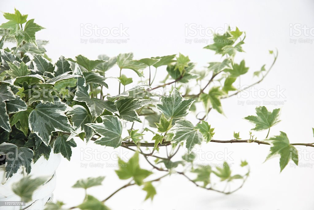 Variagated Ivy stock photo