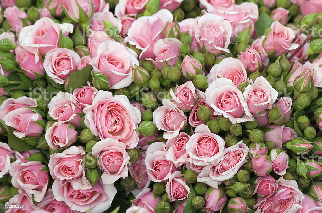variations of pink roses royalty-free stock photo