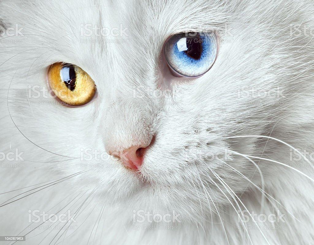 varicoloured eyes white cat stock photo