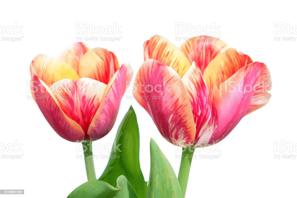Variegated colors produced by Tulip Breaking Virus (mosaic virus) stock photo