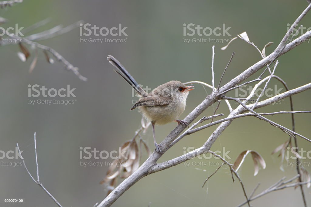 Variegated Fairy-Wren; Malurus lamberti - Female stock photo