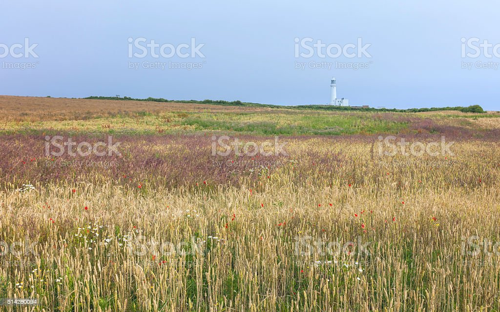 Variegated field of wheat and flowers and modern lighthouse, Flamborough, UK. stock photo