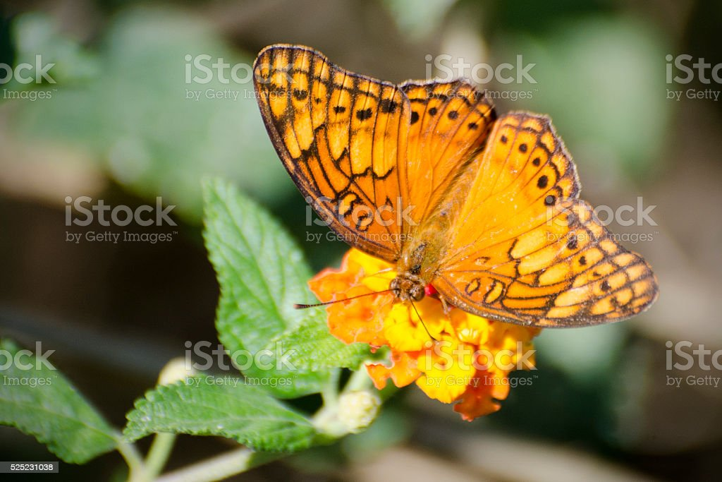 variegated fritillary butterfly, Euptoieta claudia stock photo