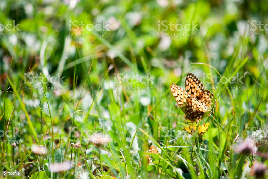 Variegated Fritillary Butterfly in a Meadow stock photo