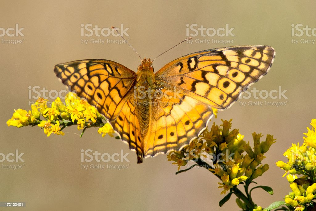 Variegated Fritillary Butterfly stock photo