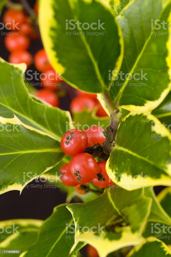 Variegated Holly on black background stock photo