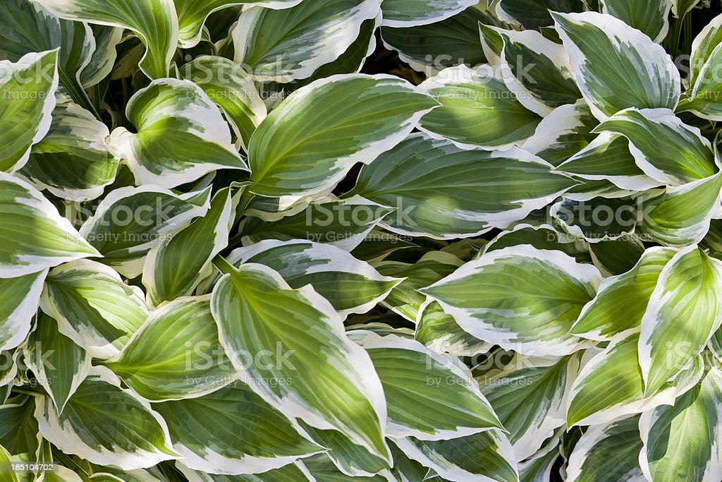 Variegated Hosta in Dappled Light stock photo