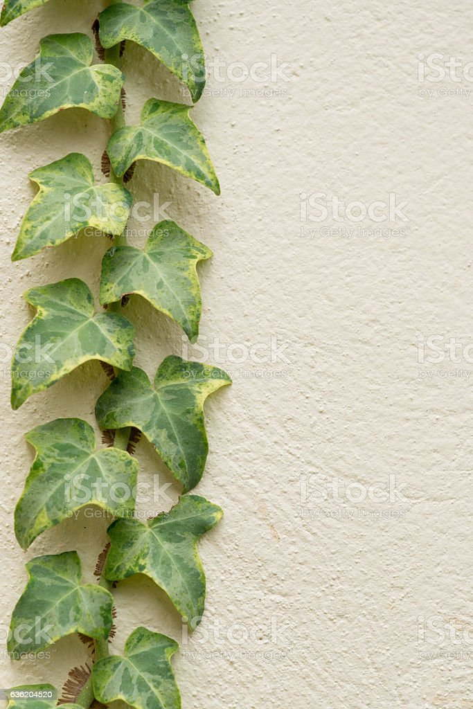 Variegated ivy, Hedera canariensis on concrete wall stock photo