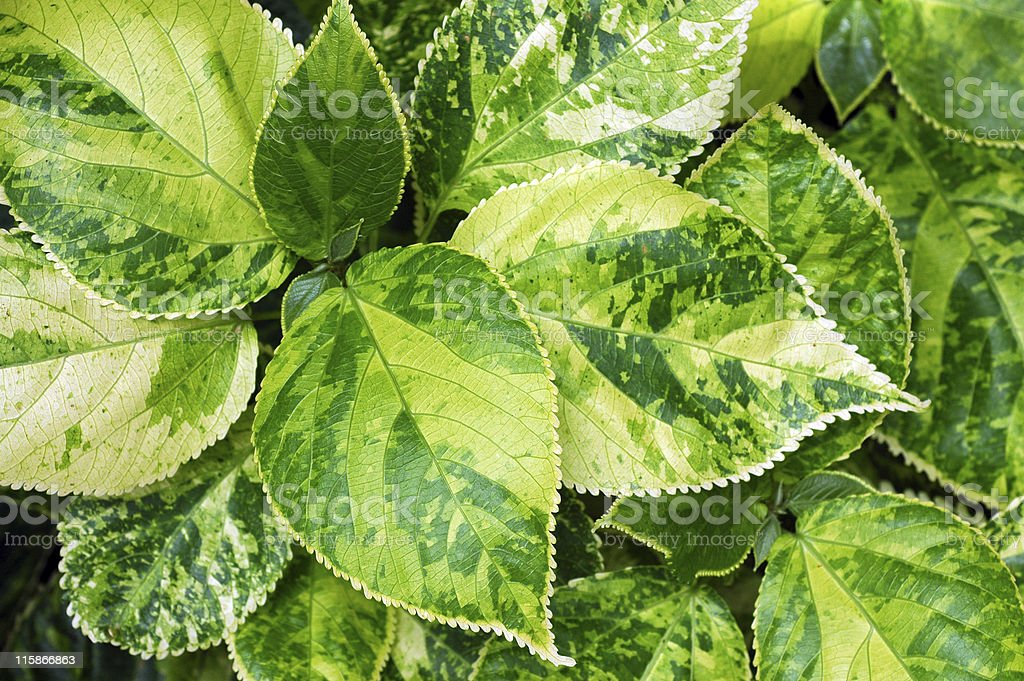 variegated leaves, Acalypha wilkesiana royalty-free stock photo
