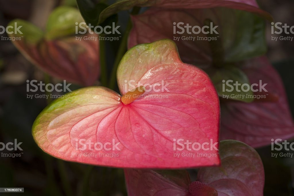 Variegated Pink and Green Anthurium in Garden royalty-free stock photo