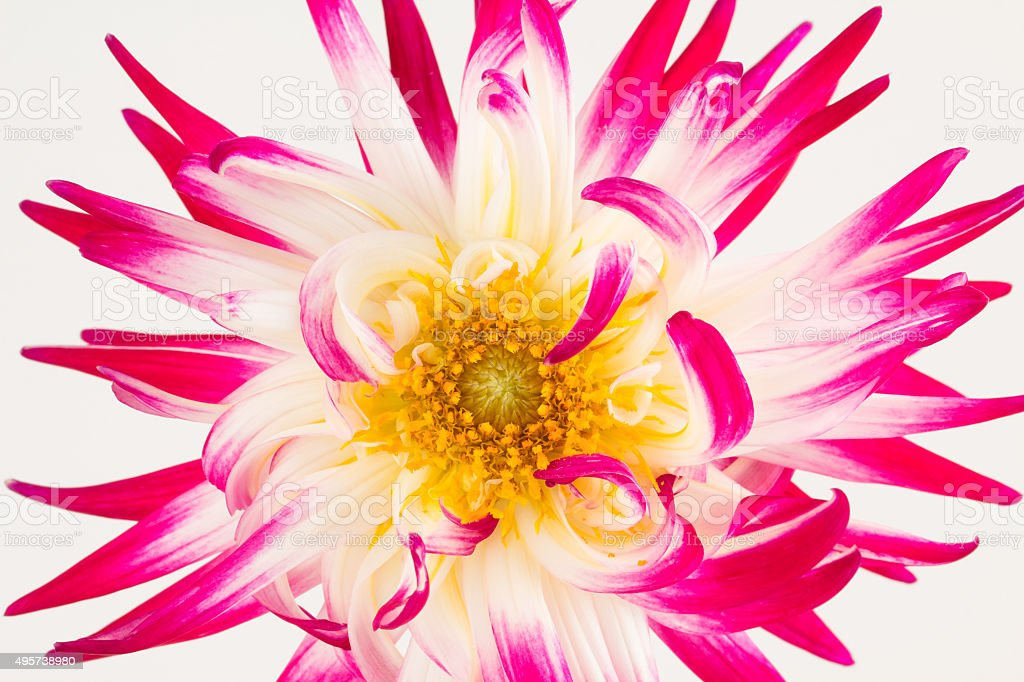 Variegated pink and white cactus dahlia stock photo
