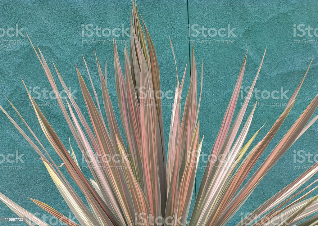 Variegated Plant Against Turquoise Wall, Natural Pattern, Southwest Colors royalty-free stock photo