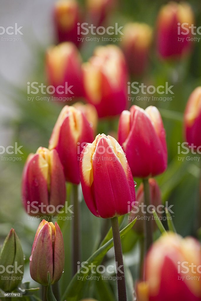 Variegated Red and Yellow Tulips in a Field royalty-free stock photo