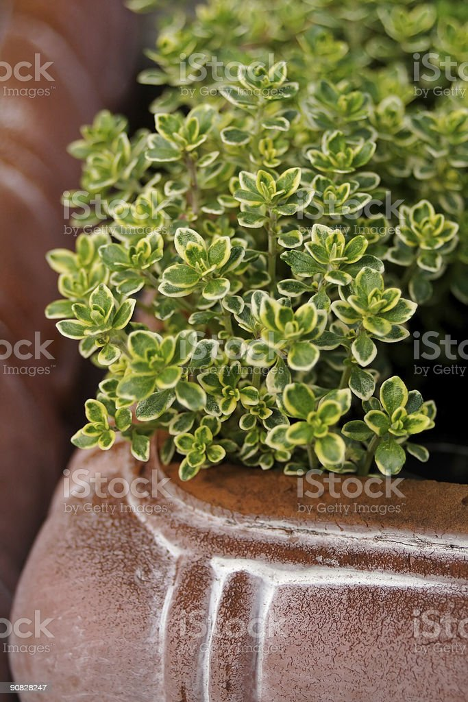 Variegated Thyme royalty-free stock photo