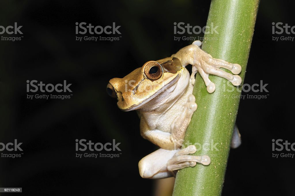 Variegated Tree frog stock photo