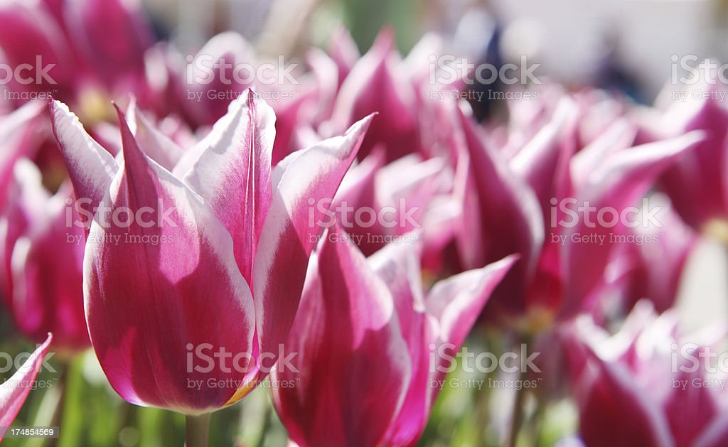 Variegated Tulips royalty-free stock photo
