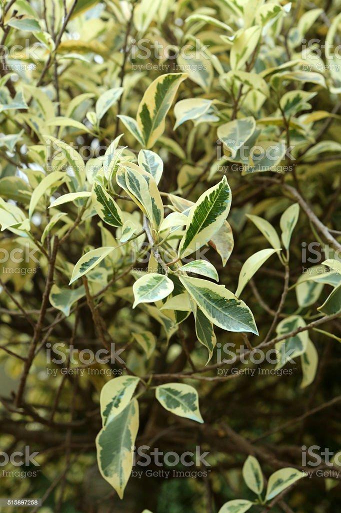 Variegated Weeping Fig - Ficus Benjamina - Variegata stock photo