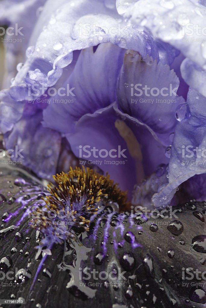 Variety bearded iris royalty-free stock photo