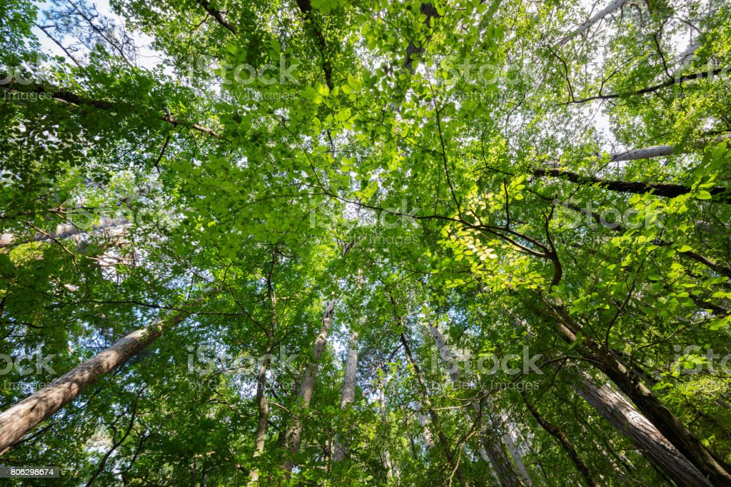 Variety crowns of the trees in the spring forest against the blue sky with the sun. Bottom view of the trees stock photo