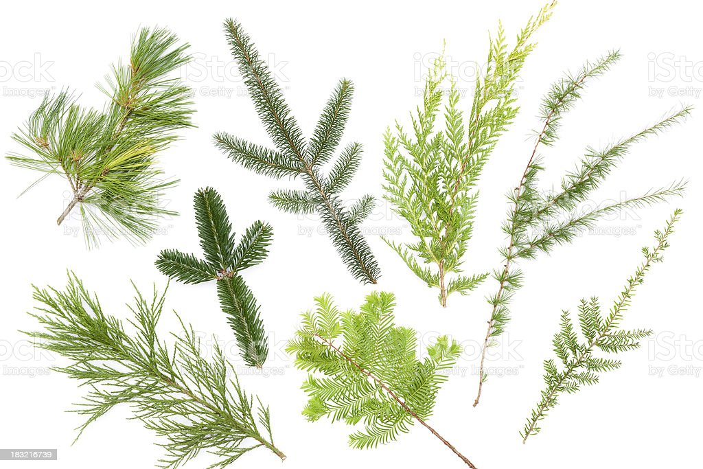 Variety of conifer leaves isolated on white stock photo