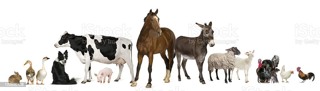 Variety of farm animals, white background. stock photo