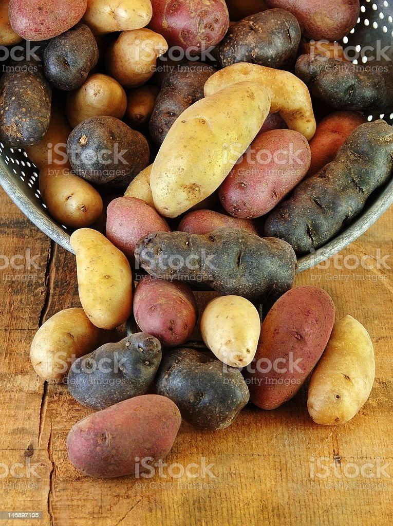 Variety of Fingerling Potatoes in Collander stock photo