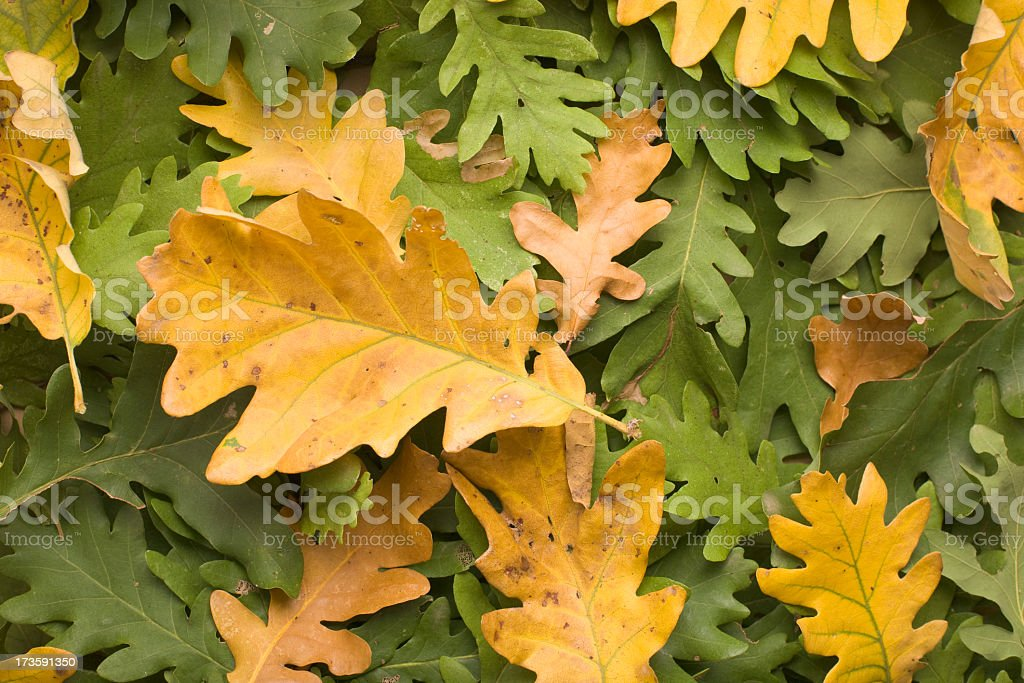 A variety of green and yellow oak leaves stock photo