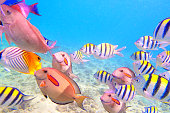 Variety of Reef Fishes in Beaches of Kauai Hawaii