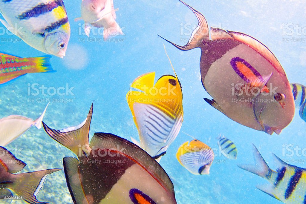 Variety of Reef Fishes in Beaches of Kauai Hawaii stock photo
