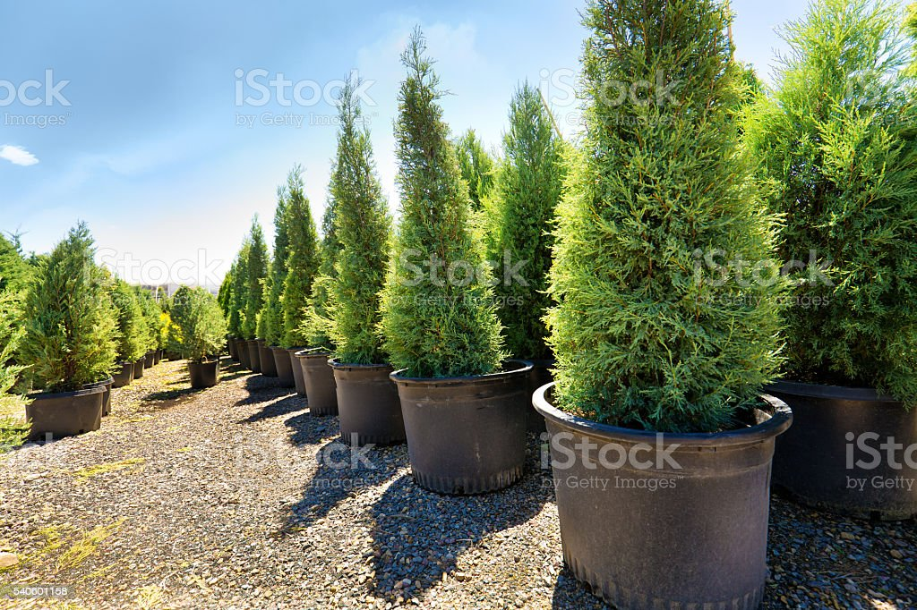 Variety of Sapling Tree Display in Lanscaping Nursery Garden Center stock photo