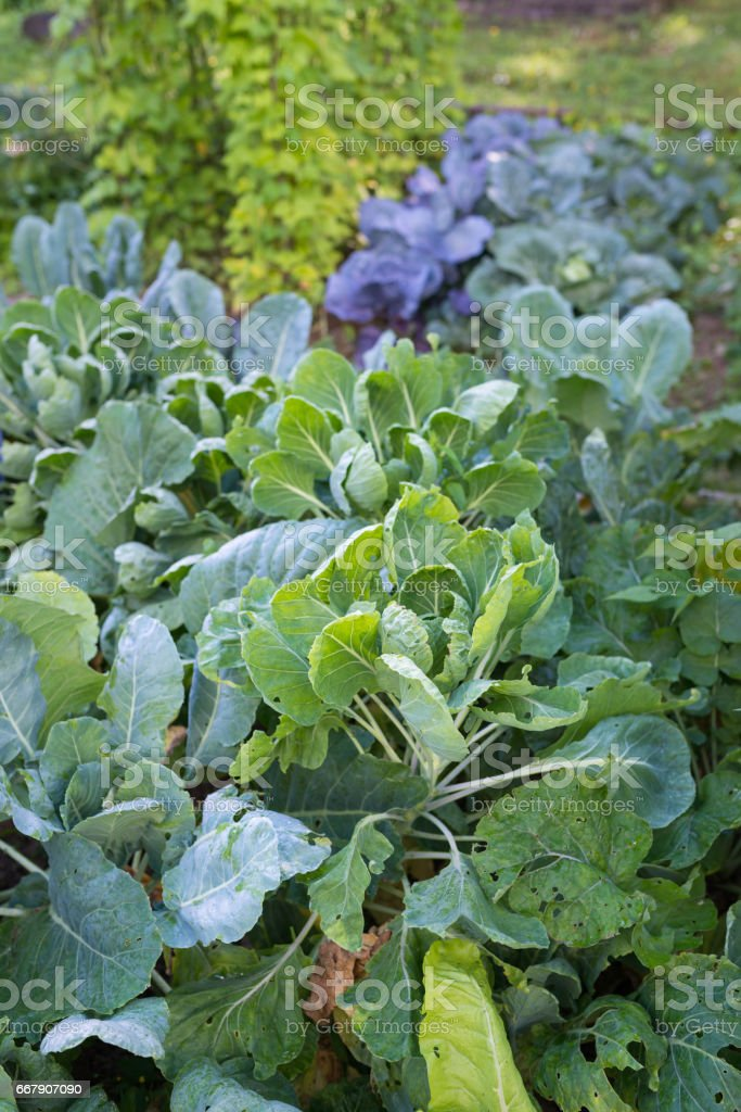 Various cabbages seedbed in the garden stock photo
