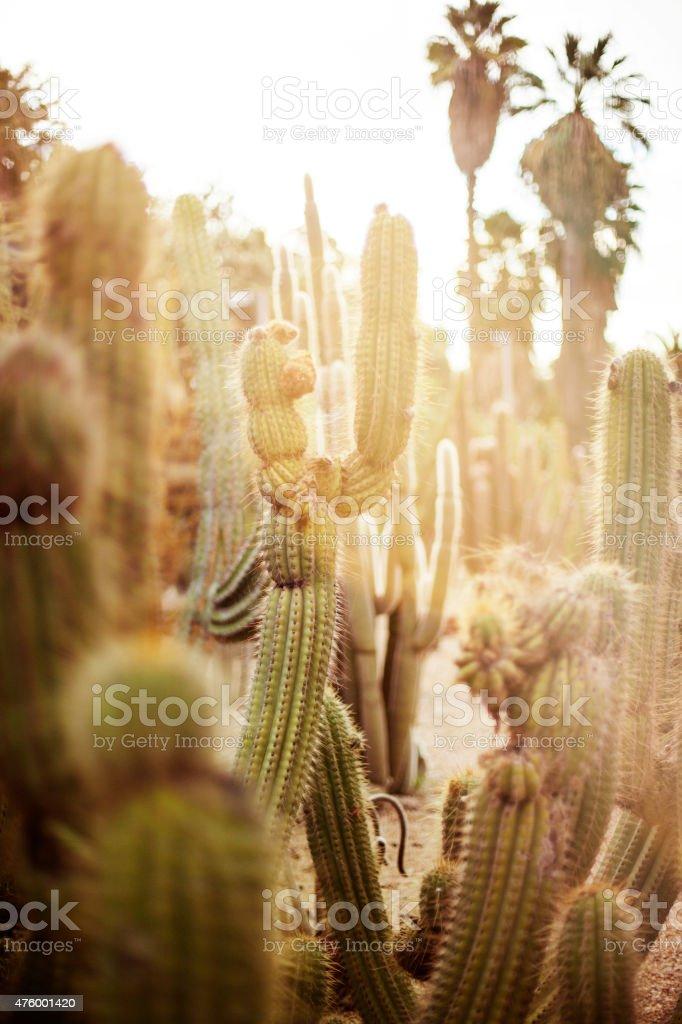 Various cactus in desert stock photo