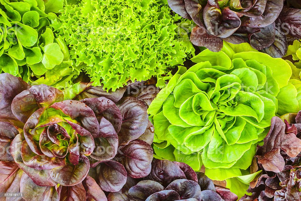 Various crops of fresh lettuce stock photo