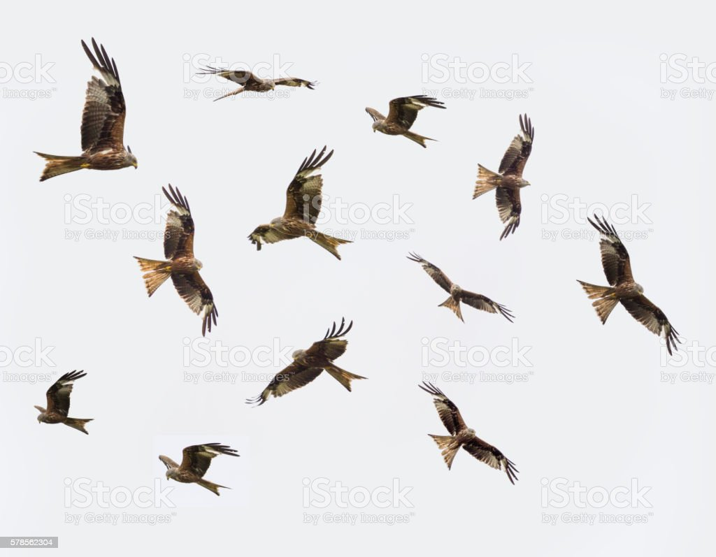 Various flight patterns of the Red Kite stock photo