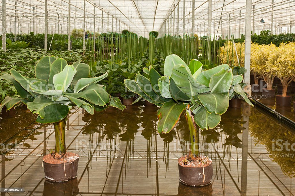 Various houseplants in a hydroculture plant nursery stock photo