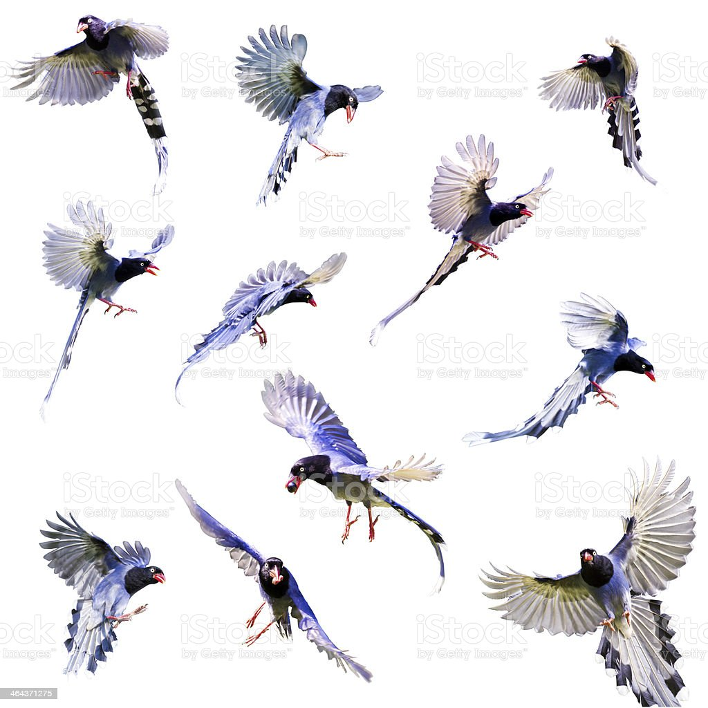Various illustrations of a blue formosa magpie royalty-free stock photo