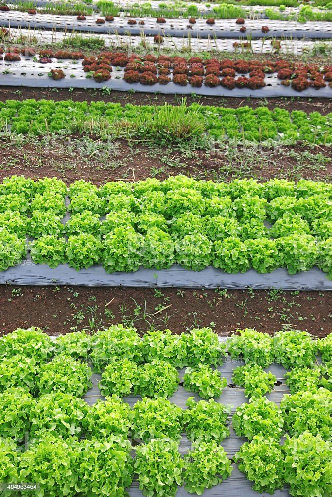 Various of big and small green lettuce stock photo