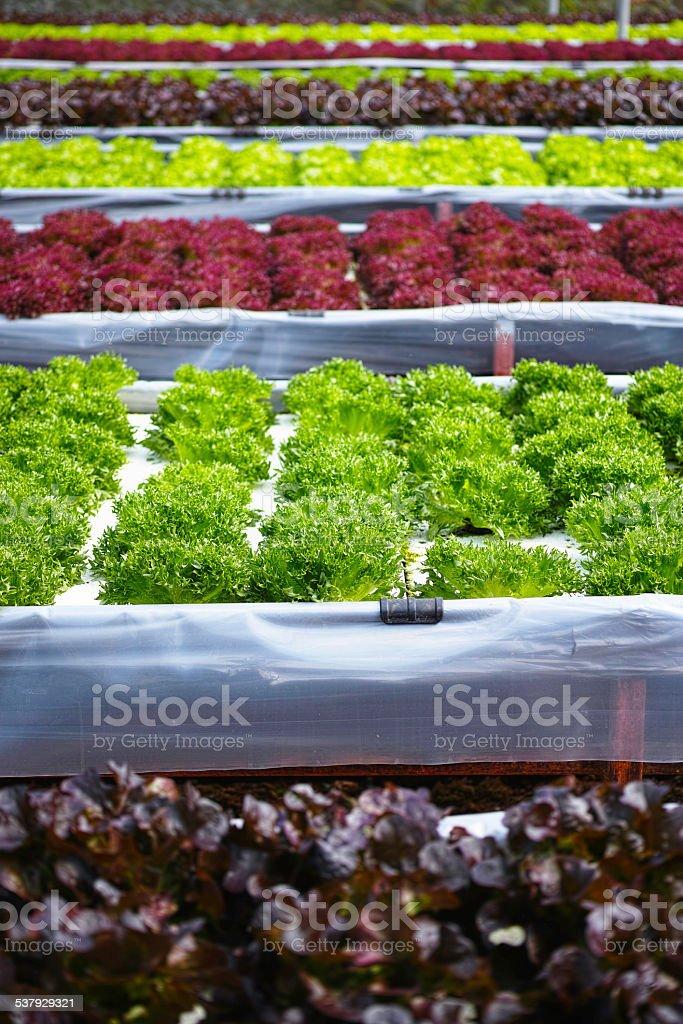 Various organic lettuces on a farm. stock photo
