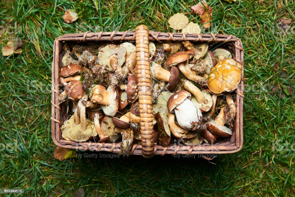Various raw mushrooms in a wicker basket on the grass in autumn forest stock photo