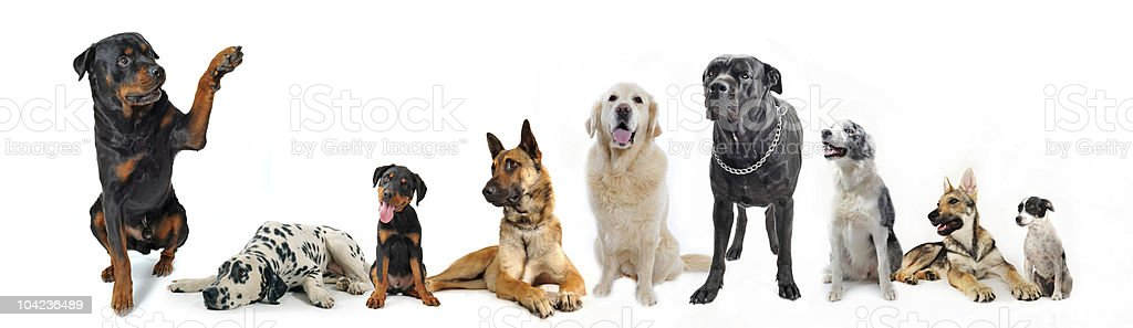 Various types of dog breeds on white stock photo