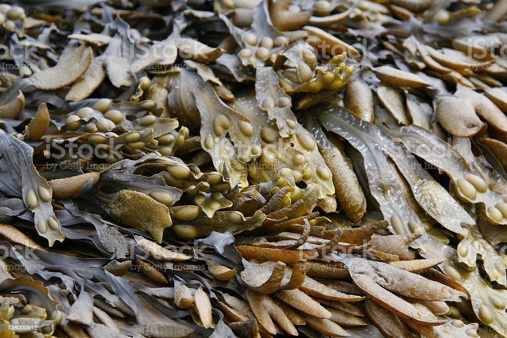 Various types of seaweed royalty-free stock photo