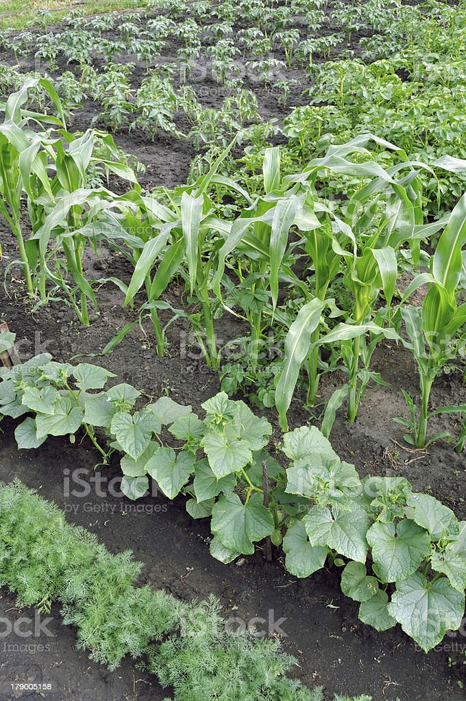 various vegetables in the vegetable garden royalty-free stock photo