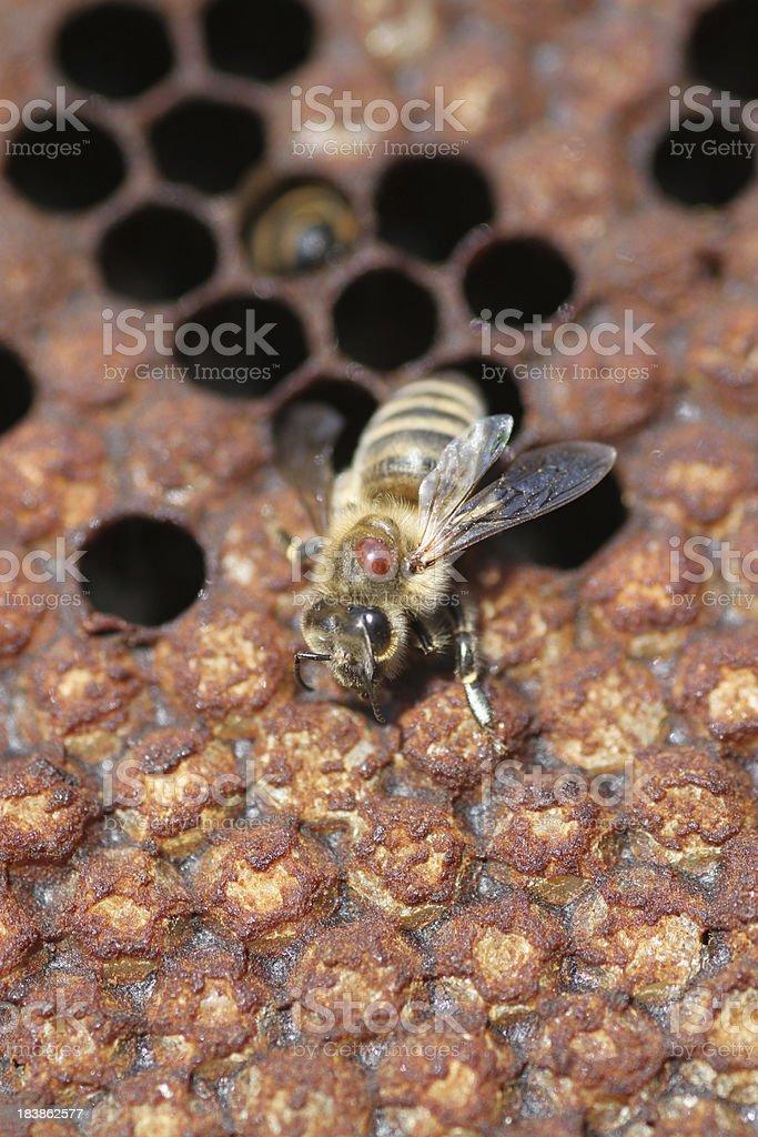 varroa mite stock photo