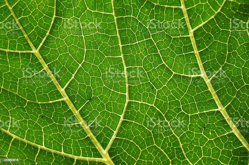 Vascular bundles within a pumpkin leaf stock photo