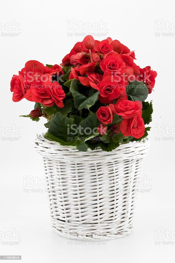 Vase of Begonia. Color Image royalty-free stock photo