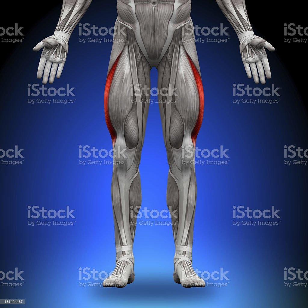 Vastus Lateralis - Anatomy Muscles stock photo